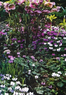 Hellebores mixed with snowdrops and cyclamen.Gardens Ideas, Hellebore, English Gardens, Flower Combos, Boxwood, Flower Gardens, Lenten Rose, Shades Gardens, Purple Flower