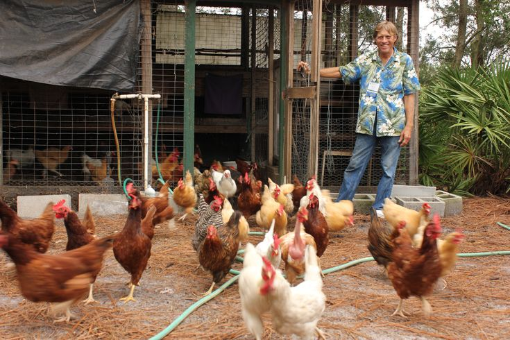 Backyard Chickens In Winter : Group looks to legalize backyard chickens in Winter Park