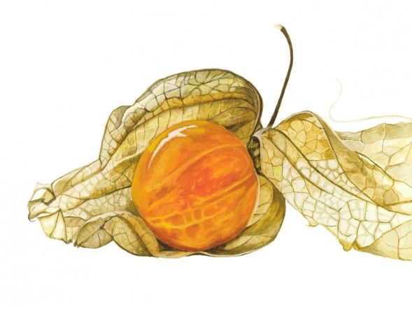 Anna Mason Art   Physalis Botanical print from an original watercolor