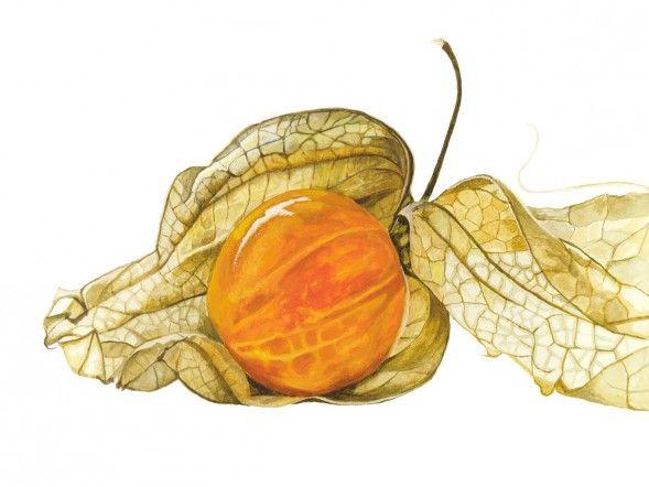 Anna Mason Art | Physalis Botanical print from an original watercolor: