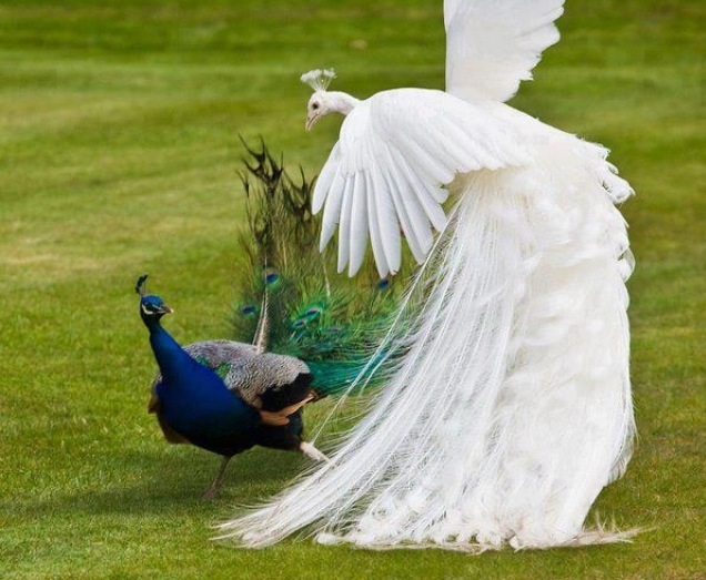 Albino and standard peacock fight | Peacock | Pinterest ...