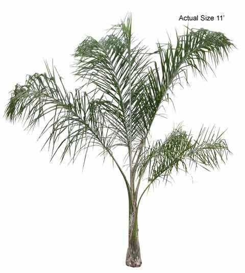 Queen Palm Tree - Welcome to your local online nursery, offering cheap and affordable wholesale discounted plants and palm trees, packaged and shipped around the world! RPT can help achieve your vacation resort in the comfort of your home with a great staff, full of ideas and landscape architects ready to design on any budget. Contact us at www.RealPalmTrees.com #QueenPalm #LargePalms #BuyPalms #PalmTreesMiami #BuyPalmTrees #BuyDatePalms #MiamiPalmTrees #PalmTreeStore