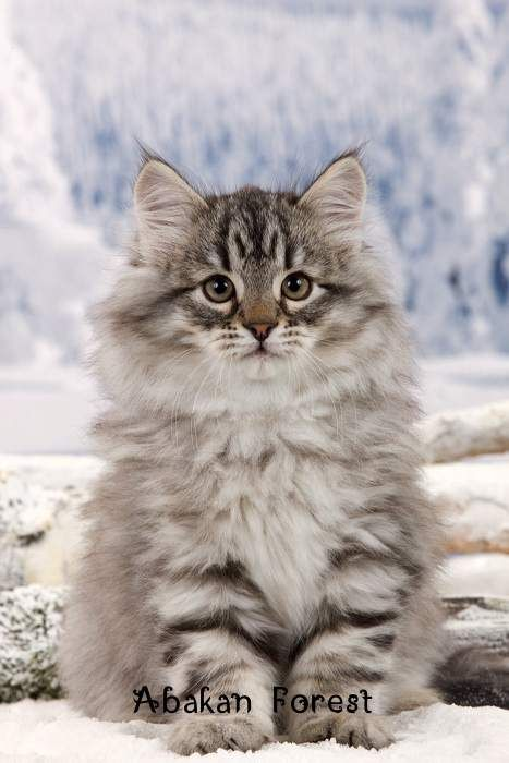 Not a Maine Coon - notice the differences in the face shape.   Photo of a kitten siberian cat Abakan Forest.