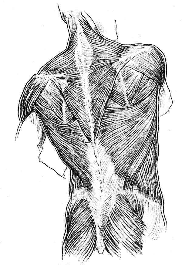 Muscle anatomy drawing