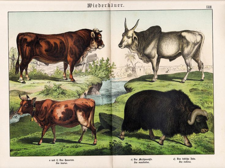 1885 SCHUBERT CATTLE AUROCHS MUSKOX ZEBU COW Antique Print