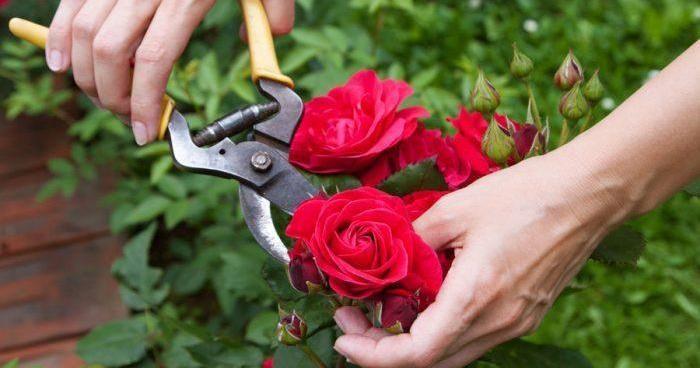 TODO sobre la poda de los rosales: ¡ESENCIAL!