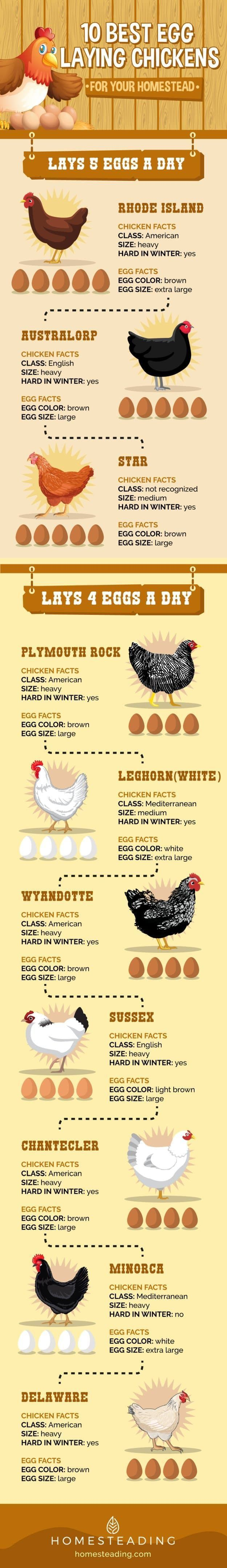 If you plan to raise chicken for eggs, this list will help you find out the best egg laying chickens to raise in your homestead.
