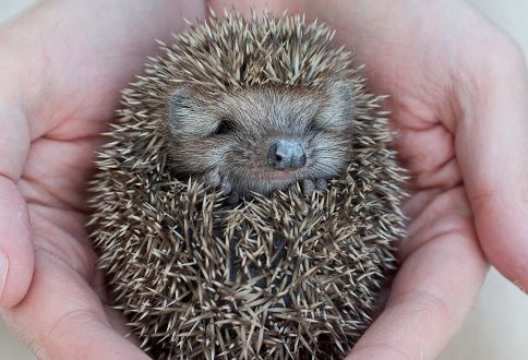 Hedgehog - http://pets.amerikanki.com/most-unique-pets-to-own/2/
