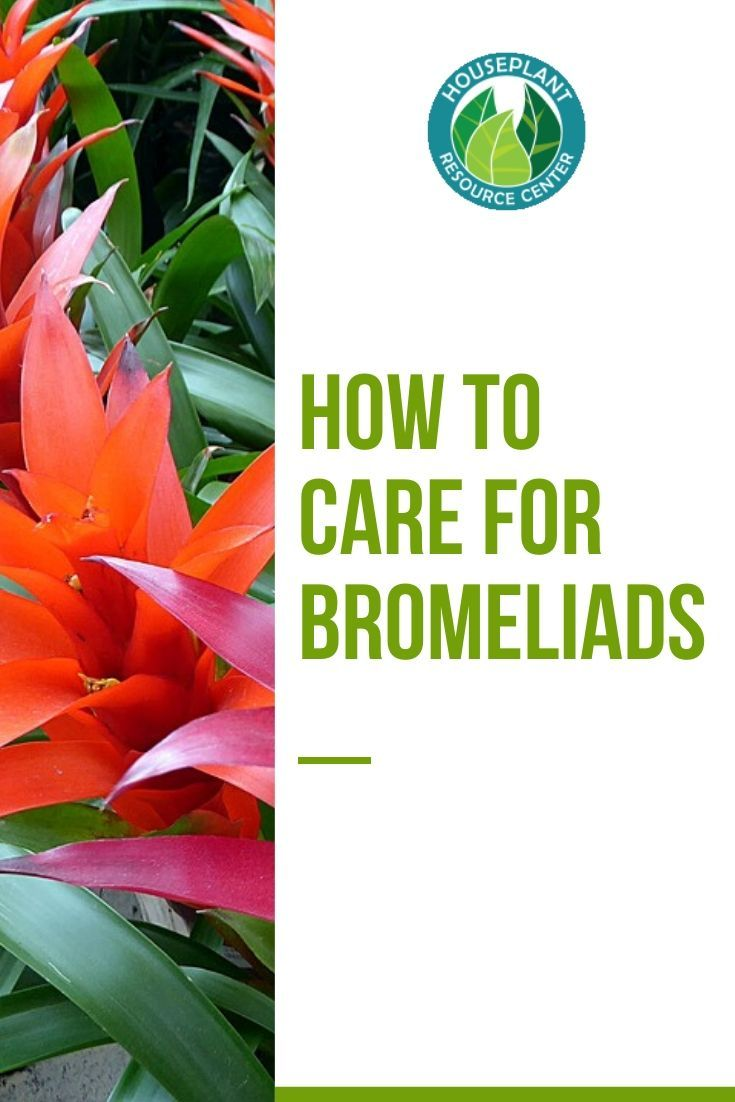 How To Care For Bromeliads Bromeliads Plant Care Houseplant House Plants