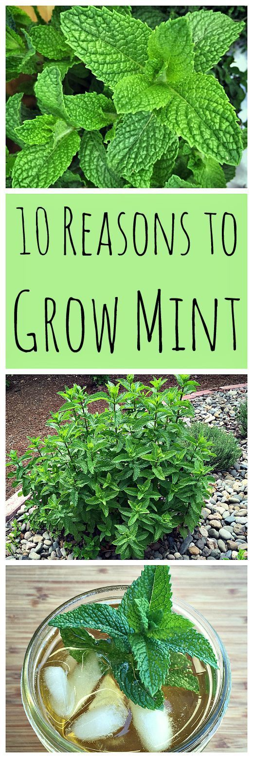 10 reasons to grow mint without fear gardens to grow and mint. Black Bedroom Furniture Sets. Home Design Ideas