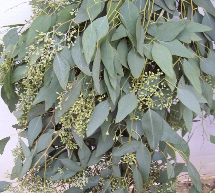 seeded eucalyptus | Deck/ Garden | Pinterest