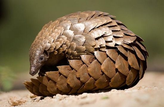 yay! pangolin!