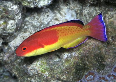 Clown Fairy Wrasse | ... , Hooded Fairy Wrasse, Deep-sea Fairy Wrasse, Holmes Fairy Wrasse