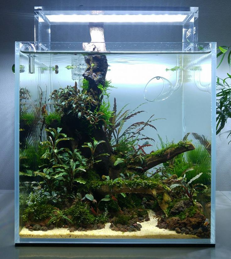 17 Best Images About Project Fish Tank On Pinterest: 17 Best Bucephalandra Tank Images On Pinterest