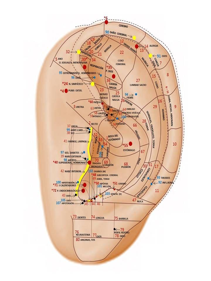 mapa de la oreja.... localización de puntos reflexologicos!