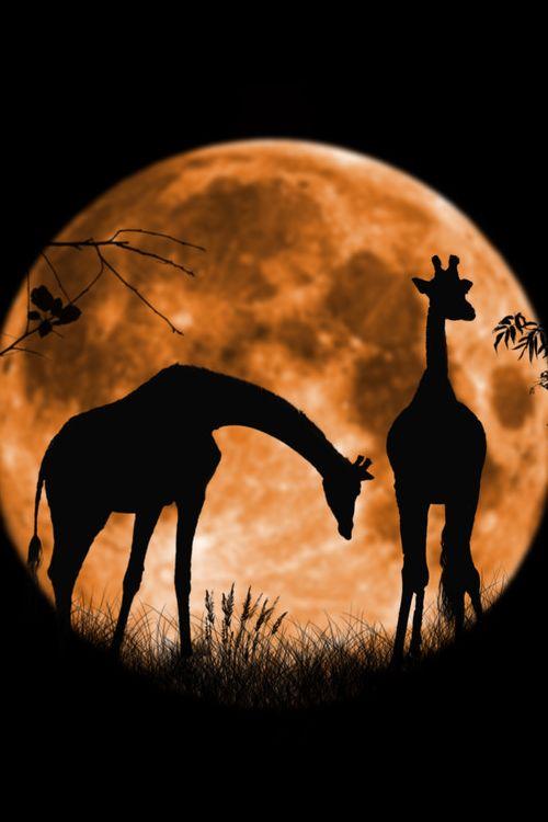 Giraffes before the rising moon