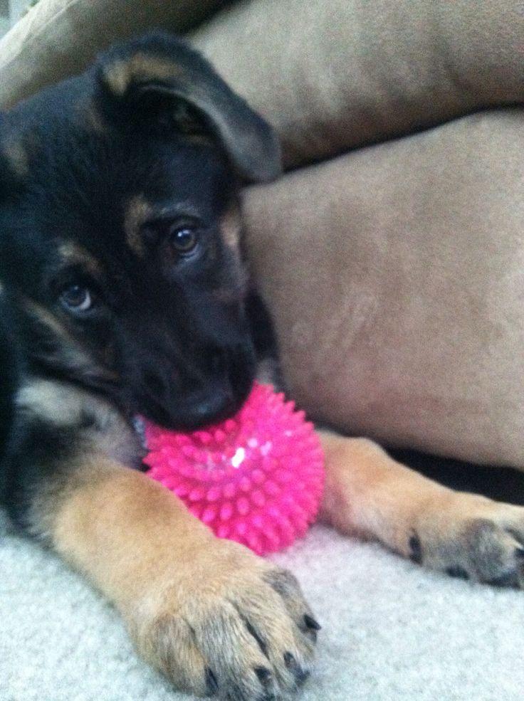 German Shepherd, German Shepherd Puppy, dog, dogs, puppy, puppies, adorable, cute