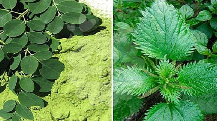 Incrível! Benefícios pouco conhecidos das plantas daninhas - # #Moringa #remédiocaseiro #Urtiga