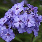 Fragrant violet flowers all summer