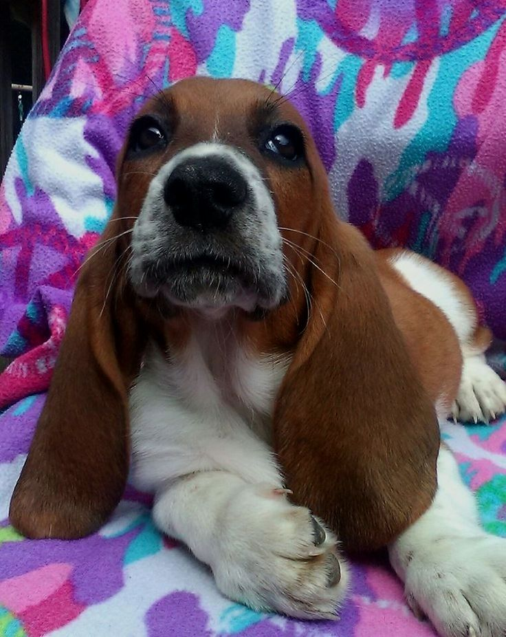Pin By Jennifer Trivett On Hush Puppy Basset Hound Dog Basset