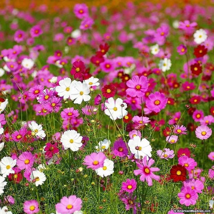 One of our most popular flowers, cosmos lights up the garden or meadow in midsummer and blooms continuously until frost. Whether you're planting an acre with wildflowers, or adding easy color to your small space garden, cosmos are the perfect choice. With an abundance of long-lasting blooms, you'll have plenty of flowers to cut and make gorgeous summer bouquets. Cosmos also attracts butterflies and hummingbirds to the garden. All of the seed we handle at American Meadows is non-GMO…