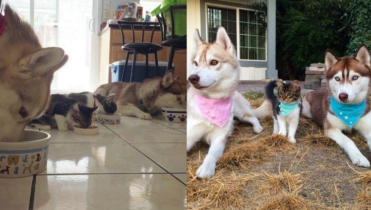 Suczka Lilo, kotka Rosie i jej psie rodzeństwo http://www.pudelek.pl/artykul/103478/suczka_husky_wychowala_porzuconego_kota_zdjecia_s/foto_1#s1