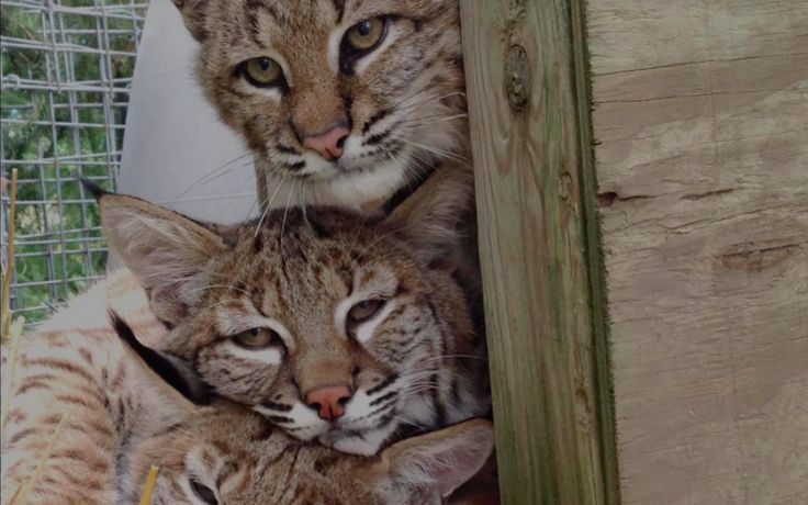 <p>This baby bobcat was all alone … Now, she has a family.</p>