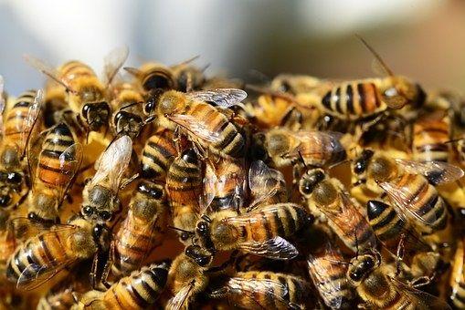 Pfungstadt– Vier Bienenvölker mit jeweils rund 40.000 Bienen wurden einem Hobbyimker in der Zeit zwischen Samstag (11.03.) und Freitag (17.03.) am Waldrand, zwischen dem Friedhof und dem Sportplatz, durch Unbekannte gestohlen. Die weiter lesen