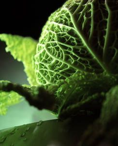 Iron Overload (Hemochromatosis) Cured by Cabbage - The People's Pharmacy®