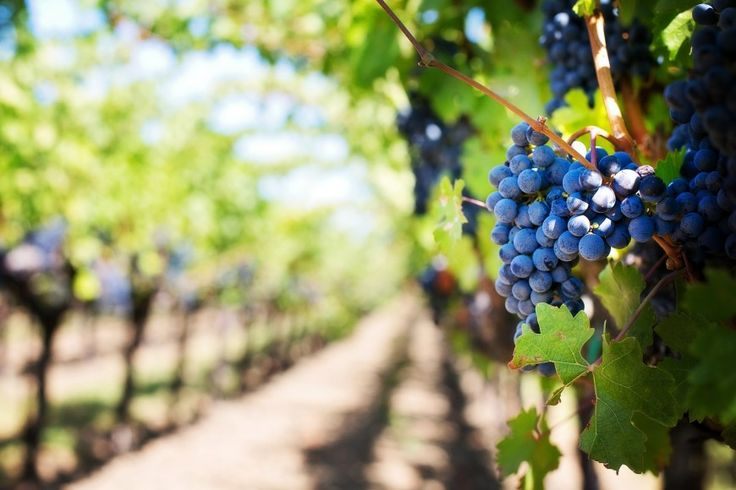 Napa Valley #San #Francisco #SanFrancisco #America #Amerika #USA #Napa #Valley #NapaValley #Vindruvor #Vinregion #Whine #Winery #California #Kalifornien