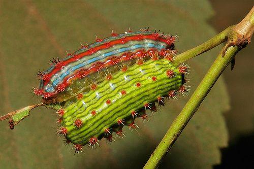 Stinging Nettle Slug Caterpillars (Cup Moths, Limacodidae)