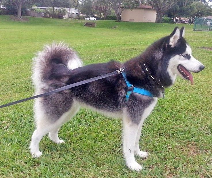 Please come follow us and help us find homes for #Siberian #Huskies! 1. SHRF on…