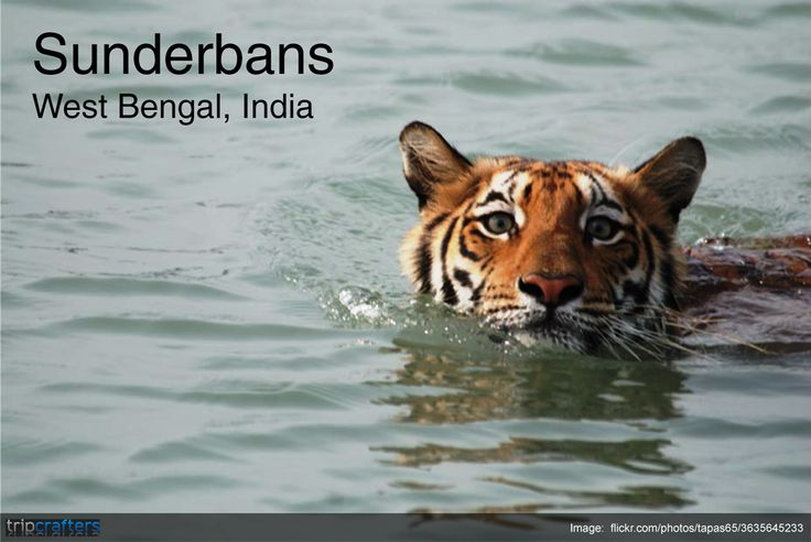 Sundarbans a #UNESCO #WorldHeritage Site is the largest single block of tidal mangrove forest in the world! It covers over 10,000 sq kms in the delta of the Bay of Bengal; the Sundarbans is home to enormous species of flora and fauna including the elusive Royal Bengal tiger. An interconnected network of waterways makes almost every corner of the forest accessible by boat. #TravelToIndia