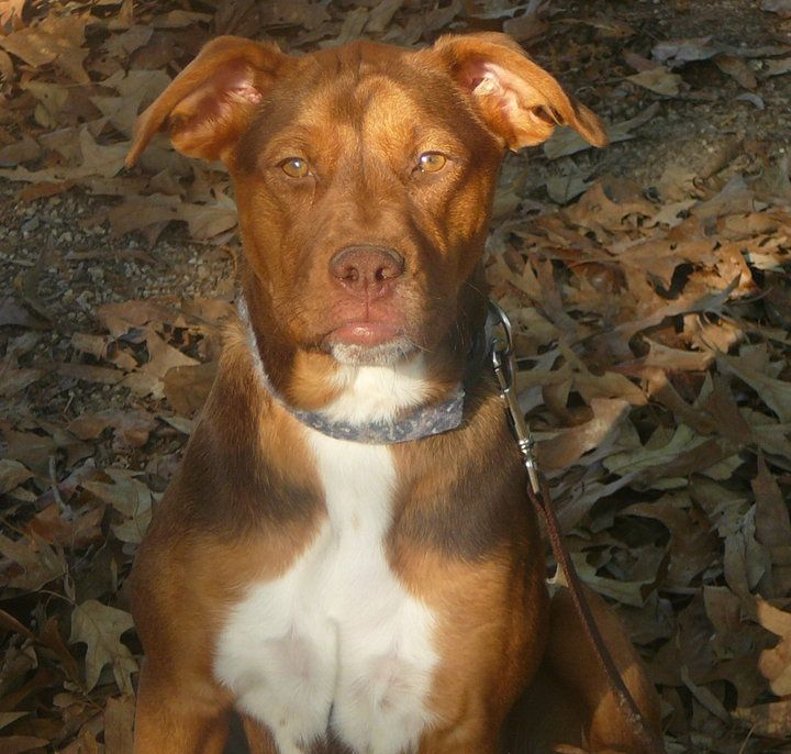 Beautiful red nose pittie mix