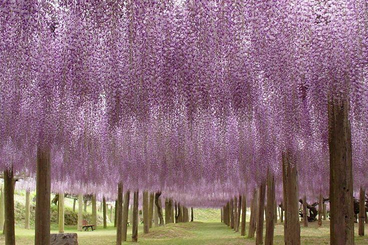 wisteria blooms: Wisteria Flower, Gardens Wisteria, Favorite Places, Purple, Wisteria Tunnel, Fuji Gardens, Kawachi Fuji, Flower Tunnel, Natural