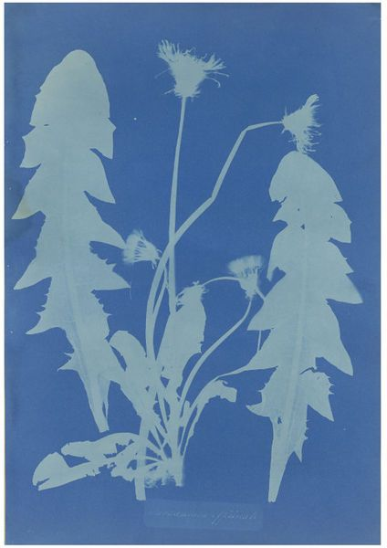 """Dandelion (Taraxacum Officinale); British and Foreign Flowering Plants and Ferns   Atkins, Anna   V Search the Collections I 1854  I Première """"photographie"""" d' un pissenlit"""