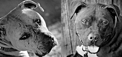 New ASPCA Exhibit Spotlights the Horrors of Dog Fighting | Dogster
