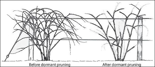 blackberry trellis diagram