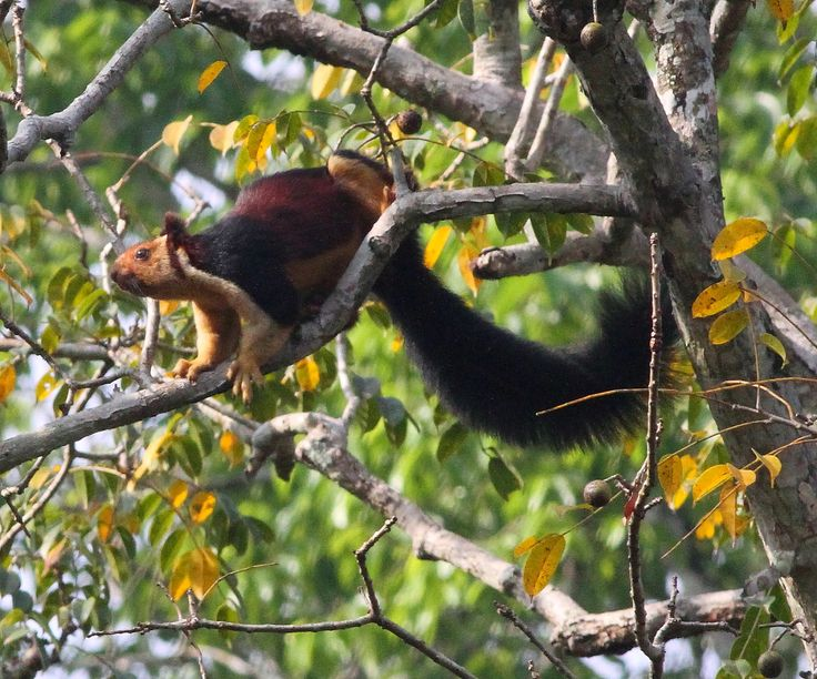 Indian Giant Purple Squirrel Indian giant squirrel chinnar