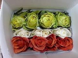 12 stem roses bunched: 4 green, 4 white and 4 orange in the same bunch. Farm Fresh and long lasting St. Patricks bunches ready to go! It's St patricksday at #ibuyflowers. Good quantities available. Order one day in advance.  Order by the bunch, box or bulk at farm level - your choice. Go to our St. Patricks button on the left filter to view all high-lighted products.  Wholesale to the trade only! for prices login to www.ibuyflowers.com