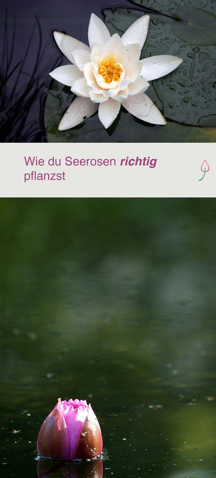 Seerosen Richtig In Den Teich Pflanzen