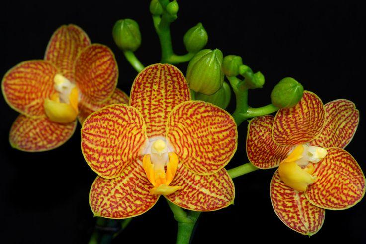 Phalaenopsis Little Zorro - Currlin Orchideen