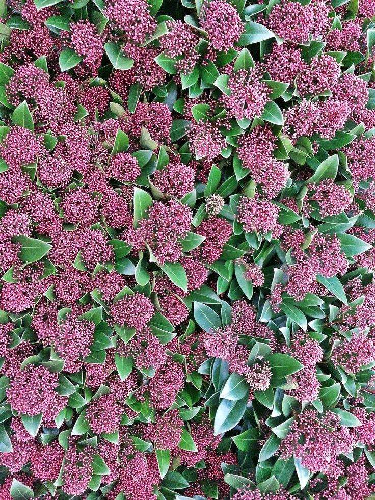 Skimmia er en dejlig prydbusk, som står med fine, mørkrosa knopper om efteråret. Skimmia er velegnet til efterårets krukker. #skimmia #rubella #prydbusk #efterårskrukke #havekrukke #krukkehave #autumn #fall #containergarden #plantorama