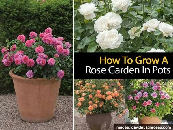 Roses garden and pots on pinterest