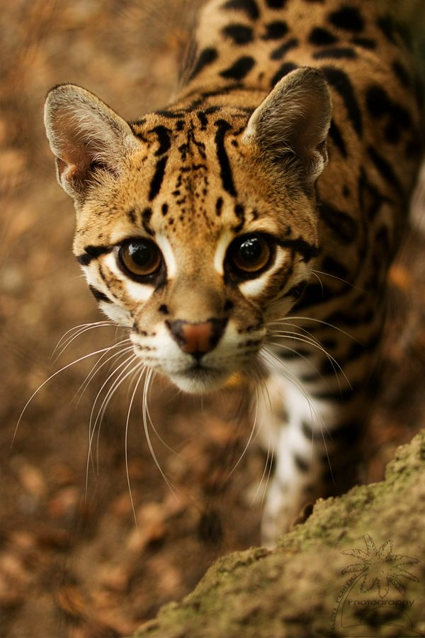 The ocelot, also known as the dwarf leopard, is a wild cat distributed extensively over South America including the islands of Trinidad and Margarita, Central America, and Mexico.