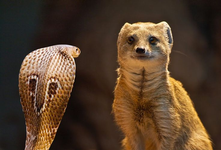 The Best Cobra vs Mongoose Fights #HD