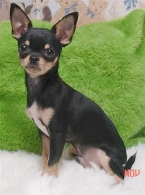 Chihuahua. Looks just like the dog I had as a little girl.. Tink Tink :)