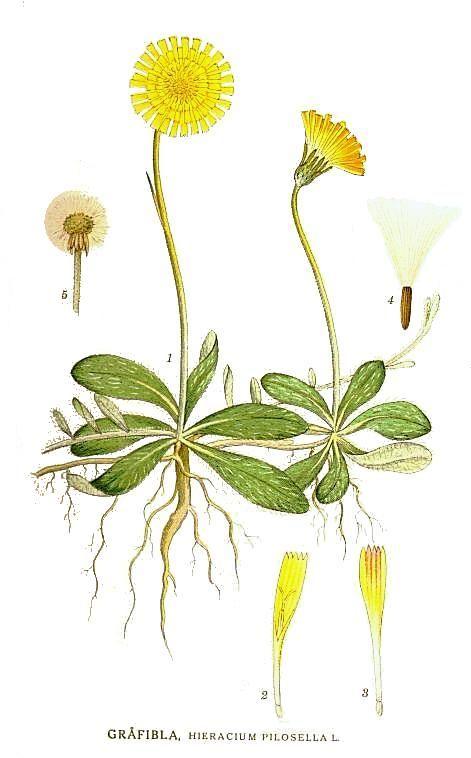 Hieracium pilosella by Carl Axel Magnus Lindman.