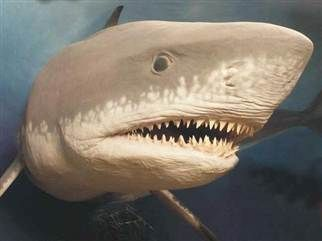 Extinct Megalodon, the largest shark ever, may have grown too big (Photo: Giovanni Bianucci)