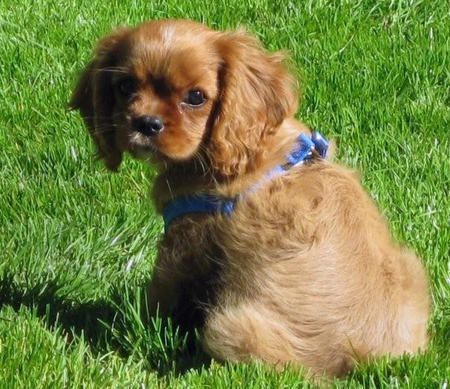 Sneakers the Cavalier King Charles Spaniel